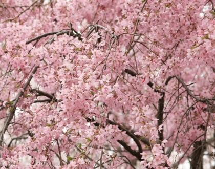 「弘法山桜写真コンクール」