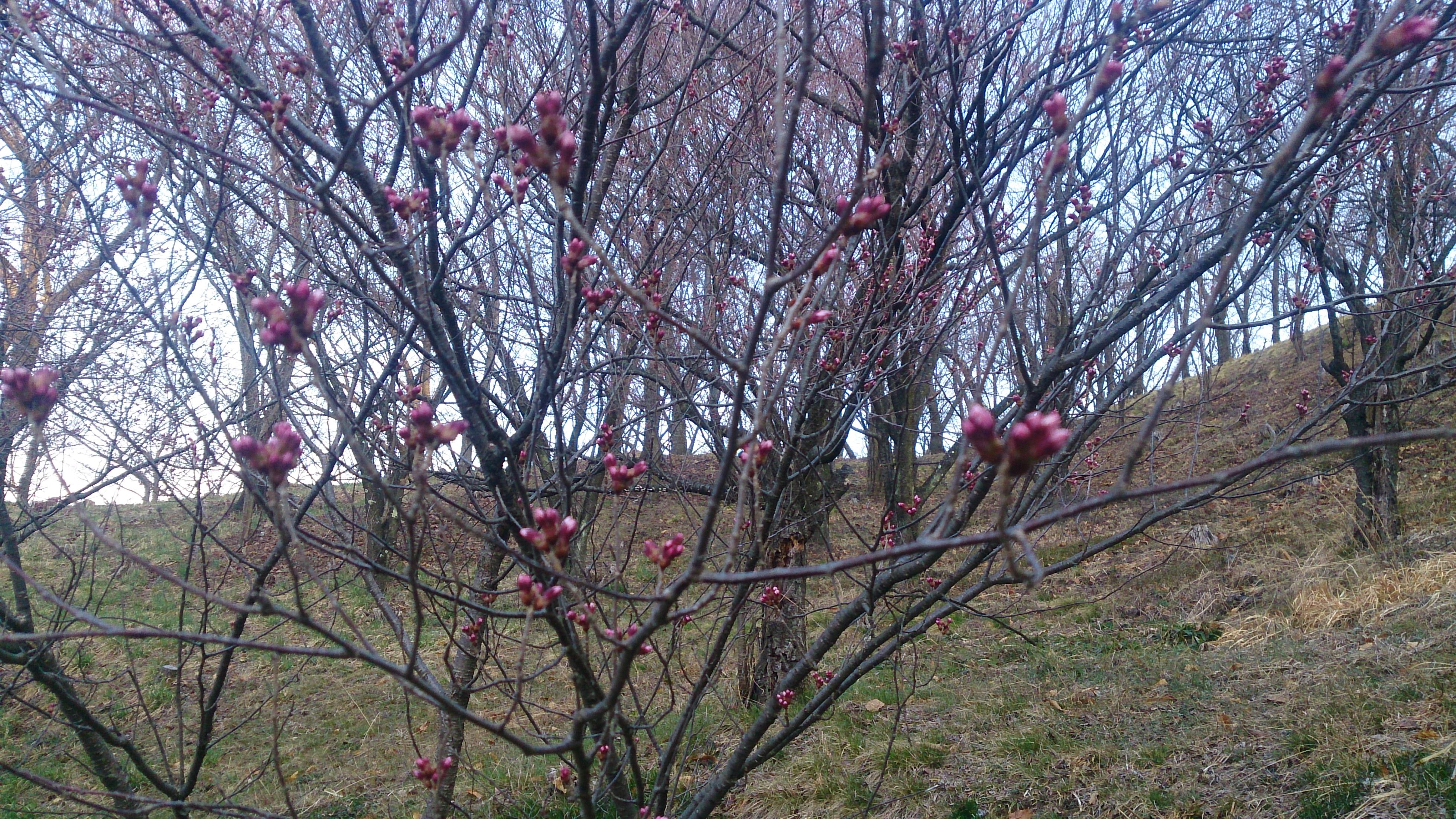 弘法山の桜の様子について3月28日