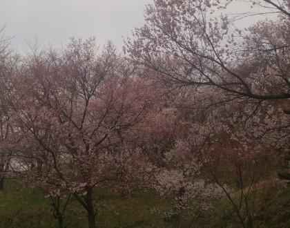 さくら咲き始めました