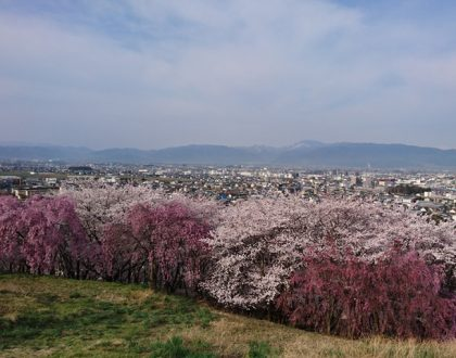 弘法山の桜が満開になりました。