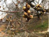 弘法山の桜の様子 (2019.3.29現在)