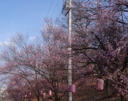 弘法山の登り口の桜やっと咲き始めました。(2019.4.6現在)