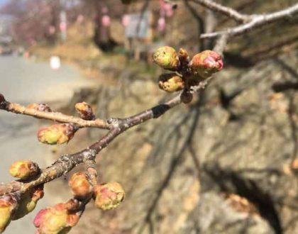 弘法山の桜の様子 (2019.4.5現在)