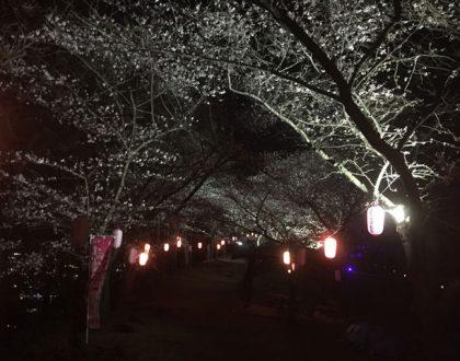弘法山の桜の様子 (2019.4.15現在)