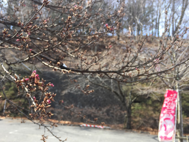 弘法山の桜の様子 (2019.4.2現在)