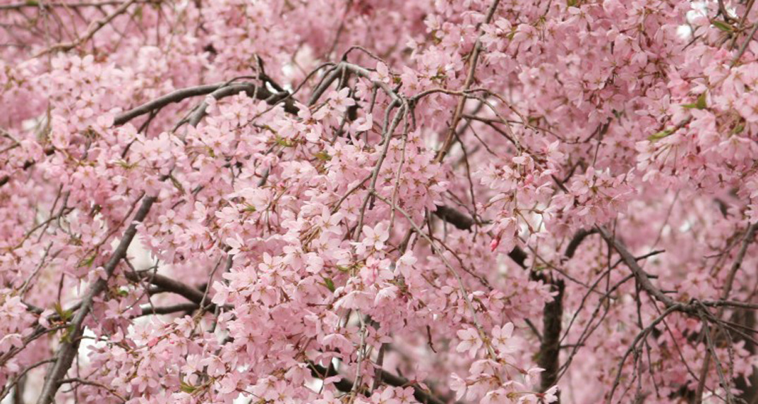桜まつりの取りやめについて