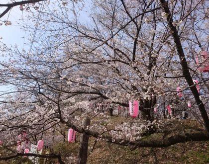 2018年 山の桜も一気に咲き始めました。
