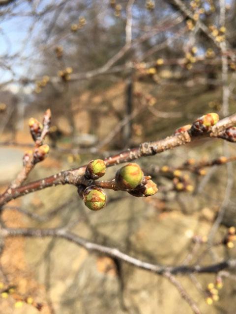 弘法山の桜の様子 (2019.3.25現在)